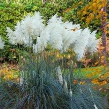 600Pcs Pampas Garss Bonsai Grass Plant Ornamental Flowers Cortaderia Selloana For home Garden