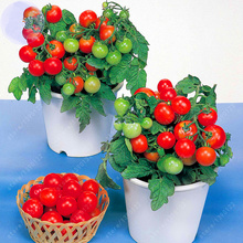 200 pcs/bag bonsai tomato seeds, delicious cherry tomato seeds,Non-GMO seeds vegetables Edible food potted plant for home garden