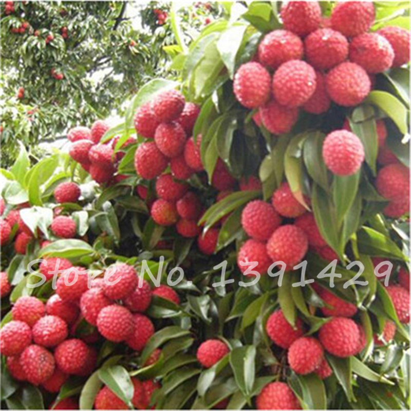 online buy wholesale litchi tree from china litchi tree, Beautiful flower