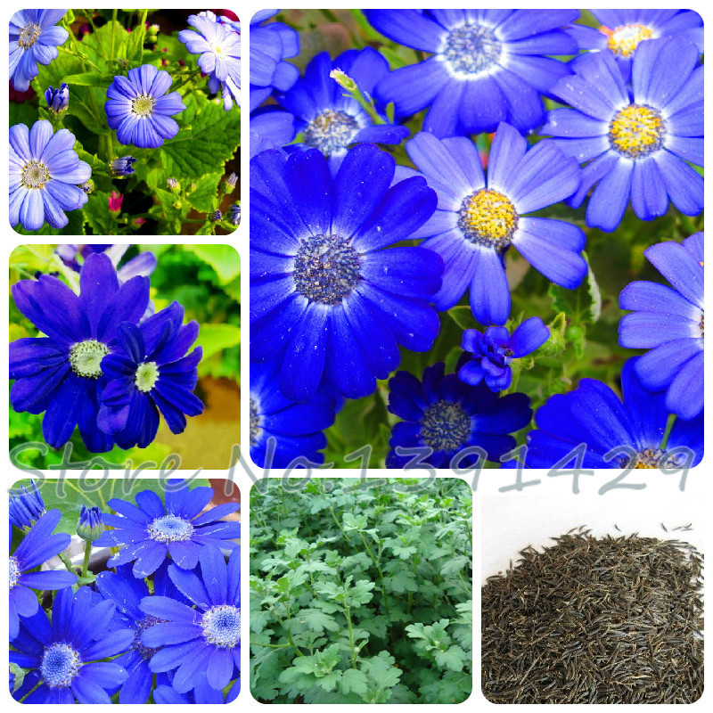 Aliexpress 100 Pcs Blue Daisy English Species Easiest Growing Flower Exotic Ornamental Flowers Pot Planters Tes For Home Plant From