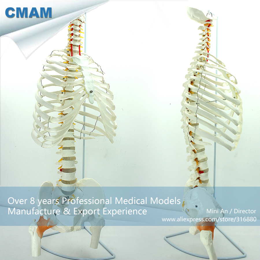 12380 CMAM-SPINE07 Human Sternum Skeleton Model with Half Femur , Medical Science Educational Teaching Anatomical Models 12400 cmam brain03 human half head cranial and autonomic nerves anatomy medical science educational teaching anatomical models