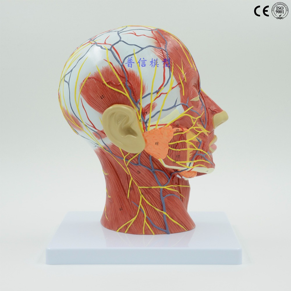 Human,skull with muscle and nerve blood vessel, head section brain, human anatomy model. School medical teaching medical science colored muscle origins and insertions in half head life size plastic skull model