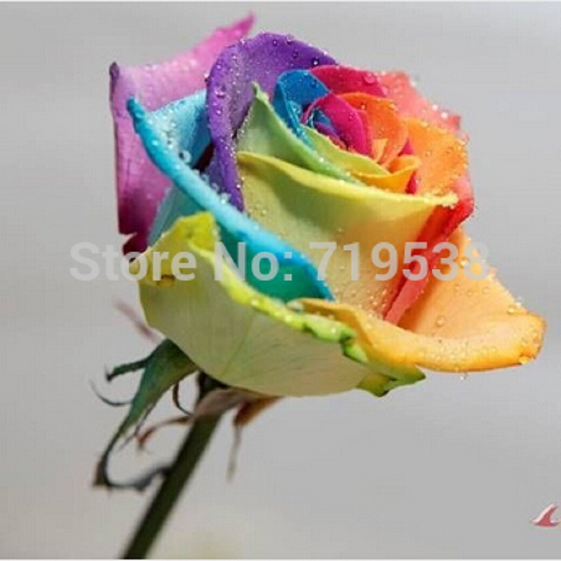 Popular rainbow rose buy cheap rainbow rose lots from for Buy rainbow rose seeds