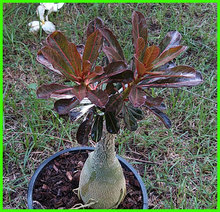 7-12inch Rooted Adenium Obesum Plant Thailand Rare Real Desert Rose Plants Siam-LKD-414