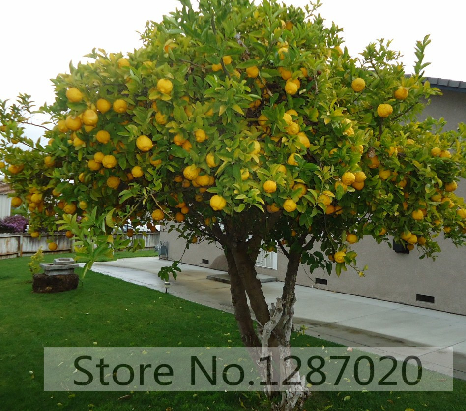 20 rare lemon tree seeds delicious fruit tree seeds for home garden planting high survival rate95