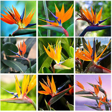 Garden decoration 10 Indoor Potted Plant Flowers Orange Strelitzia Reginae Seed Bird of Paradise Home Garden