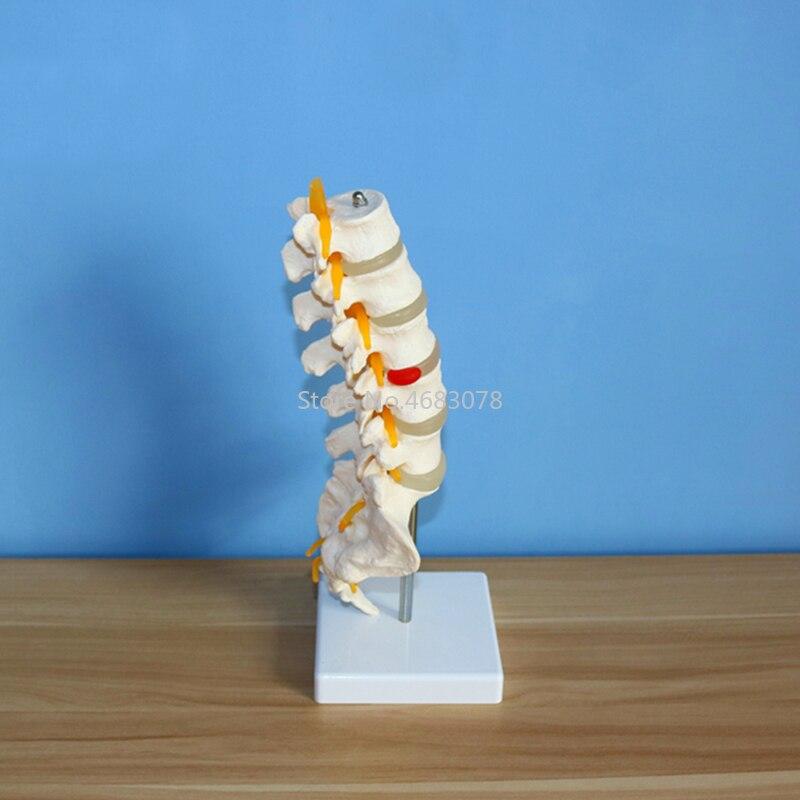 Human Anatomical Lumbar Vertebrae Model Caudal Vertebra Anatomy Medical teaching supplies 15.5x11.5x7.5cm