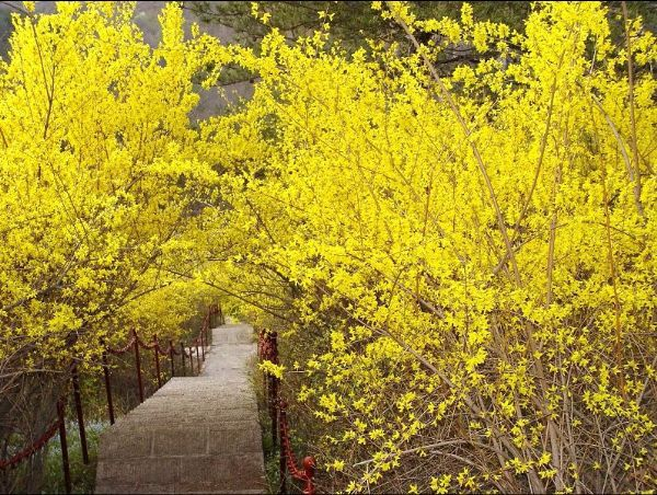 50pc japanese gold forsythia seed perennial golden yellow flowers 50pc japanese gold forsythia seed perennial golden yellow flowers beautiful plant in bonsai from home garden on aliexpress alibaba group mightylinksfo