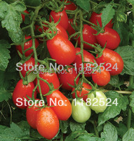 100 * Smarty (f1) Tomato Seeds Fruit Vegetables Seeds