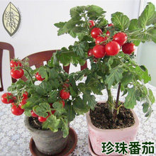 Red yellow green purple black pearl tomato balcony potted fruits and vegetables 200pcs bonsai(China)
