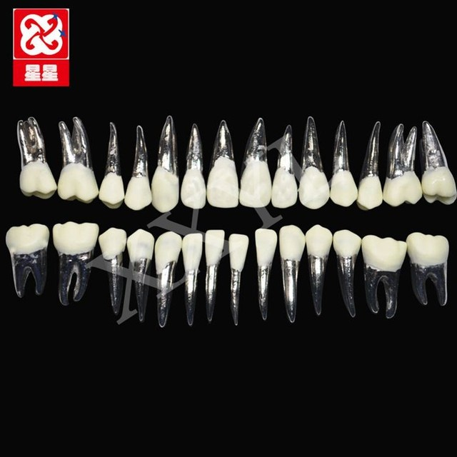human teeth model Standard steel teeth tablets 28pcs set-in Medical ...