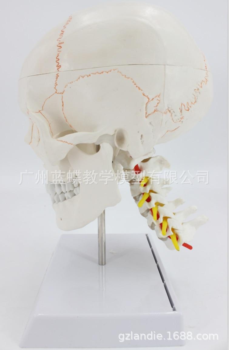 LifeSize Human Skull Cervical Vertebrae Spine with Nerves Skeleton Model Medical Anatomy Veterinary Anatomical Medical SuppliesLifeSize Human Skull Cervical Vertebrae Spine with Nerves Skeleton Model Medical Anatomy Veterinary Anatomical Medical Supplies