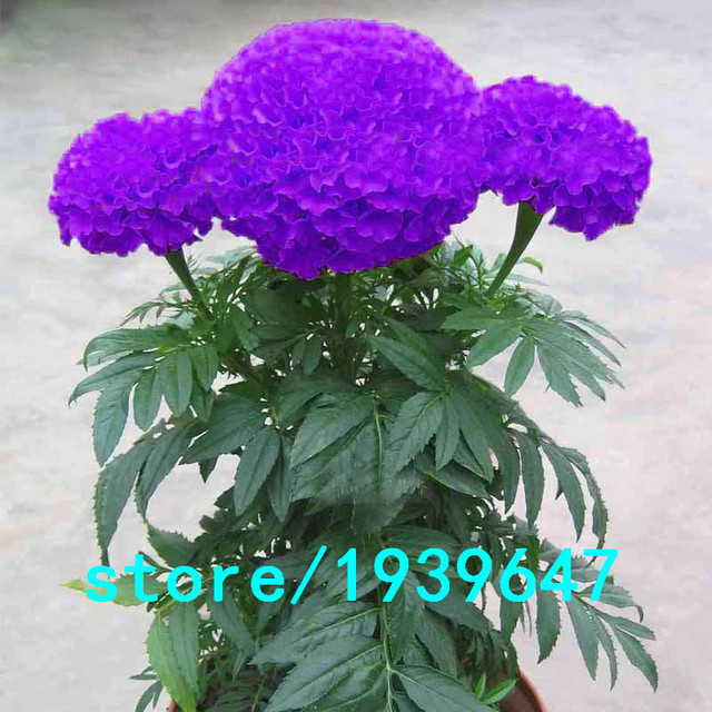 Hot Sale Rare Purple Maidenhair Seeds Flower Seeds Potted Herb Garden Marigold Chrysanthemum Bonsai Seeds 100PCS