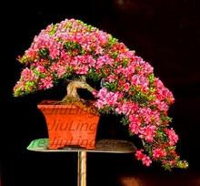 Indoor 10PCS rare sakura seeds bonsai flower Cherry Blossoms Tree cherry blossom seeds Bonsai plants for home & garden
