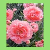 100PCS pink petals Dianthus japonicus seeds potted bonsai garden courtyard balcony
