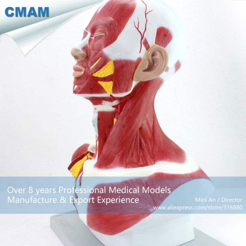 CMAM-MUSCLE06 Human Anatomical Muscle Model of Head and Neck cmam muscle06 human anatomical muscle model of head and neck
