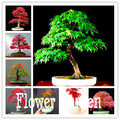 50 Pcs/pack autumn flame maple gardenlings and technical guidance red maple bonsai,#3YMXN3