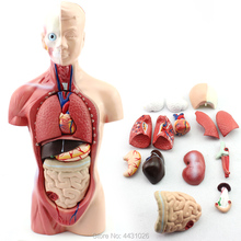 medica istruzione modello Anatomia