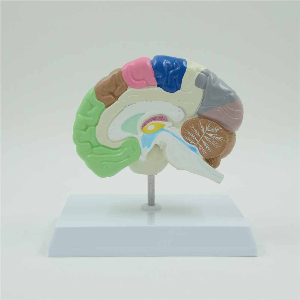 Color Brain Domain Anatomy Anatomical Model Right Brain Medical Function Educational Supplies