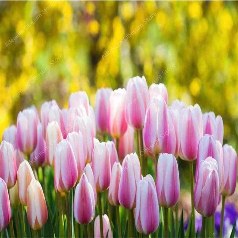 ホット! 500 個チューリップ盆栽品種虹チューリップハイグレードな花の結婚式の装飾花ガーデン植物象徴愛
