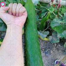 BONSAI 200pcs giant cucumber Organic edible vegetable planting potted for home garden supplies