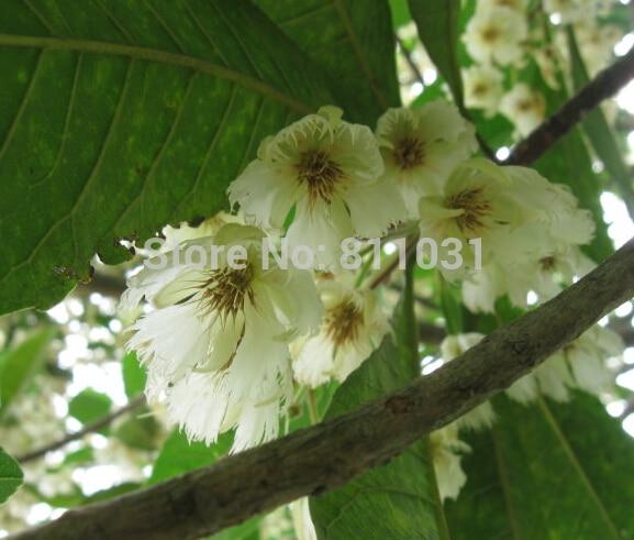 50-para-torba-elaeocarpus-tohumlar-saks-tohum-iek-tohum-tam-variety-tomurcuklanan-oran-95-ev-bahe-cr