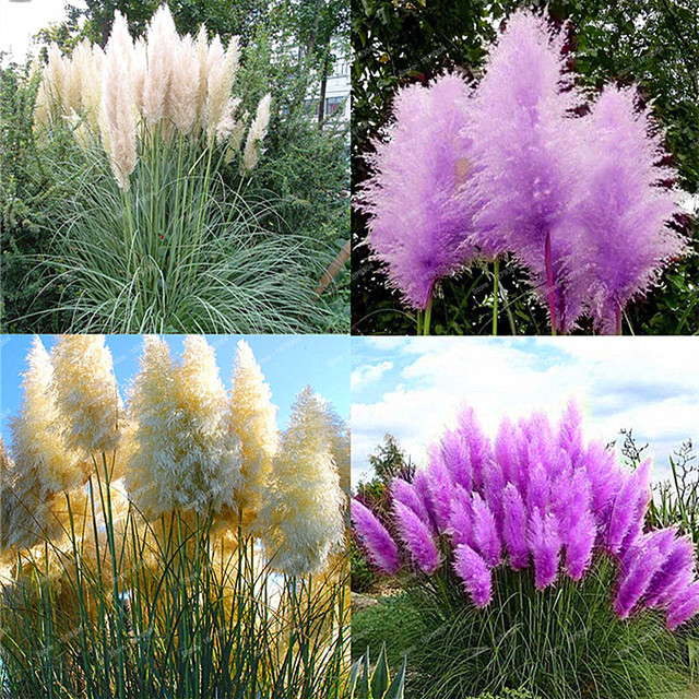500 Seeds/bag New Rare Impressive Purple Red Yellow Pampas Grass Seed Patio  And Garden