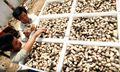 0.5 kg embalagem Original cogumelo de palha/volvacea Volvariella/cogumelos Secos comida Tradicional Chinesa/Chá de cogumelos