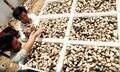0.5kg pack Original straw mushroom/Volvariella volvacea/Dried mushrooms Traditional Chinese food /Tea mushrooms