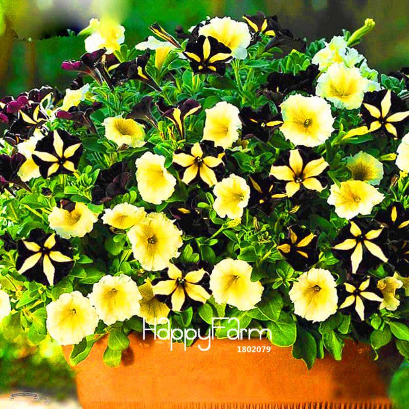 ขายร้อน! 100 ชิ้น/ถุงสีดำสี Star Petunia พืชสวน Patio พืช Morning Glory ดอกไม้ Bonsai