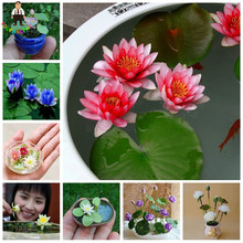 10pcs/Bag Lotus Flower Lotus Seeds Hydroponic Aquatic Plants Bowl Lotus Water Lillies Seeds Perennial Plant For Home Garden(China)