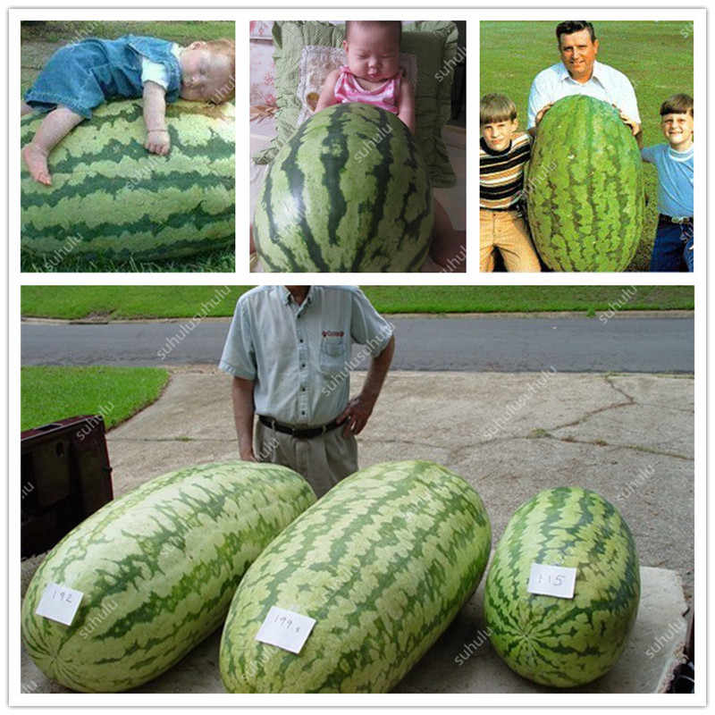 Free Shipping 30 Pcs Giant watermelon Bonsais ,rare Organic Heirloom vegetable fruit plant,Natural growth home garden planting