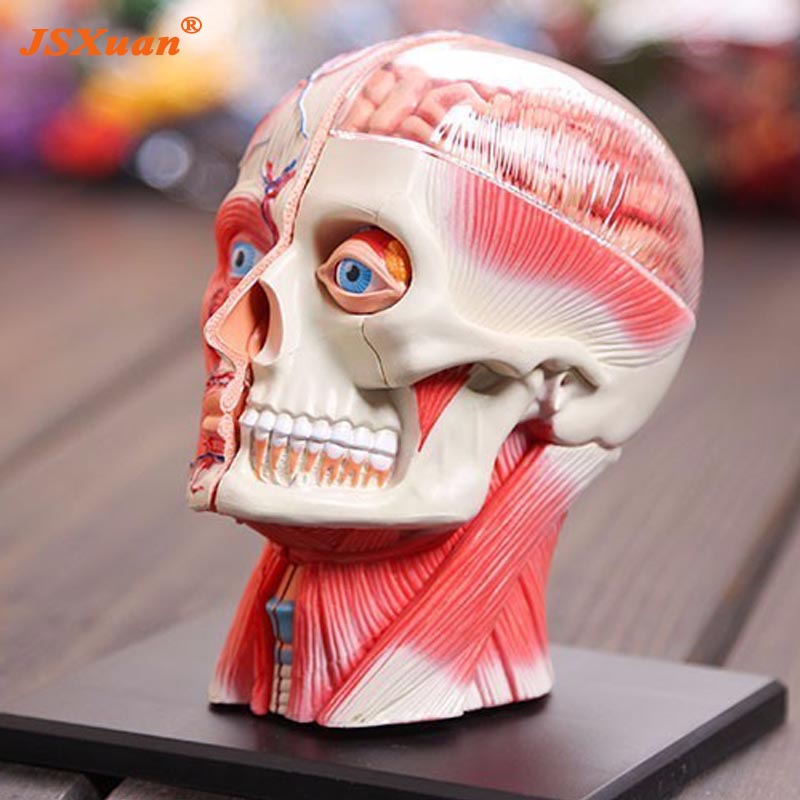 Livraison gratuite modèle de tête 3d système musculaire et nerveux de la tête assemblé modèle dimensionnel d'anatomie humaine