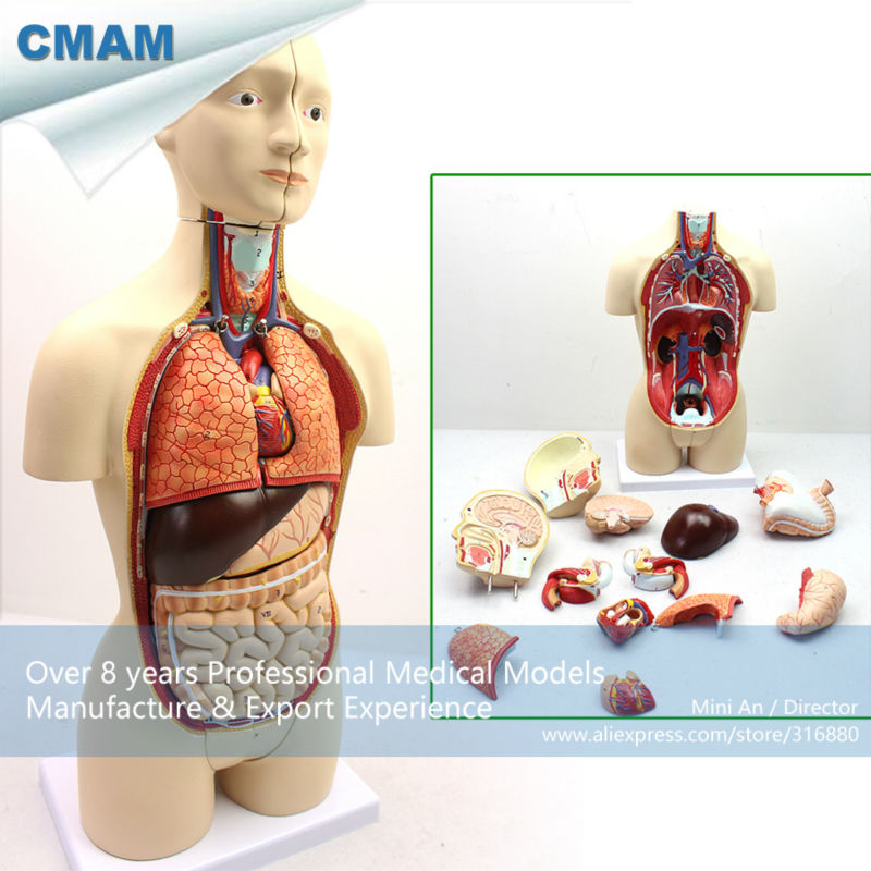 12014 CMAM-TORSO03 45cm High Bisexual Human Torso Anatomical Educational Tunk Models 12471 cmam anatomy33 male reproductive system study model medical science educational teaching anatomical models