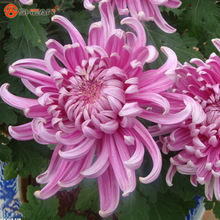 Balcony Potted Flower Purple Red Chrysanthemum Seeds Beautiful Potted Plant Seed 100 Particles / lot