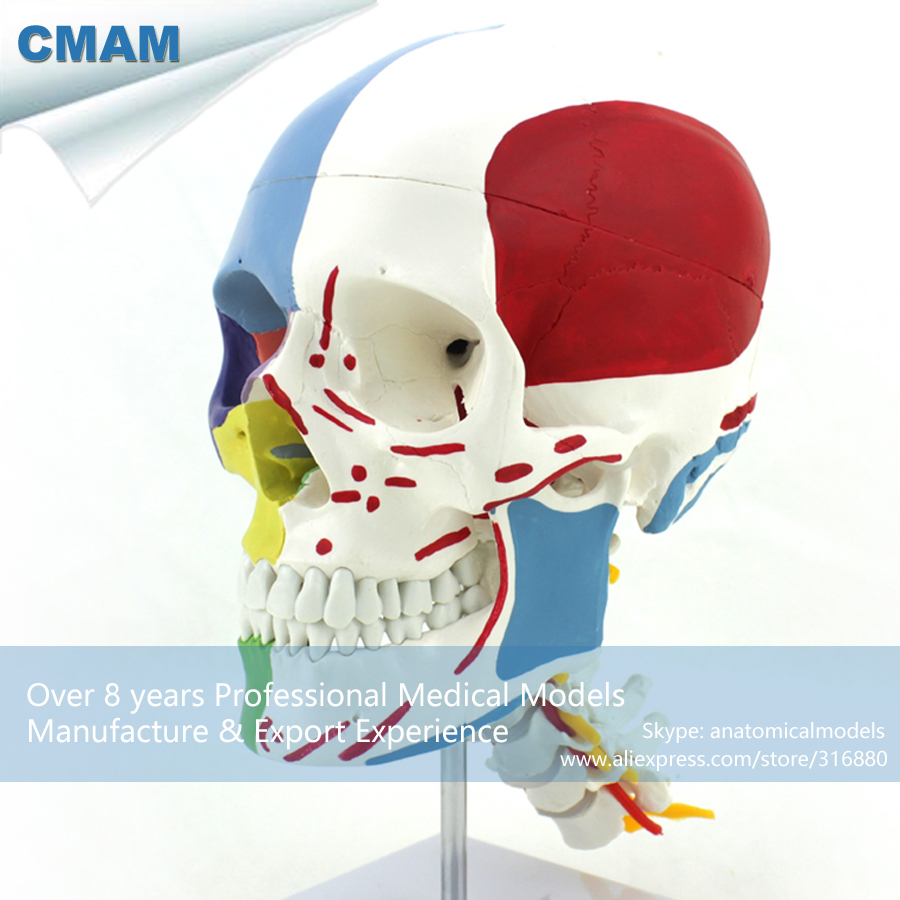 CMAM-SKULL11 Medical Anatomical Human Skull Model with Cervical Spine, Medical Science Educational Teaching Anatomical Models cmam anatomy07 reproduction model of intrauterine contraceptive guidance medical science educational teaching anatomical models