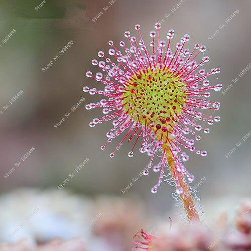 100 Pcs Carnivorous Plants Drosera Peltata Potted Plant Circular Sundew Garden Venus Fly Trap For Flower Pot Planter Easy Grow