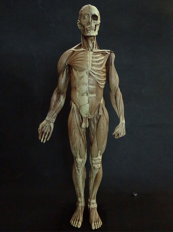 popular human skeleton muscles-buy cheap human skeleton muscles, Skeleton