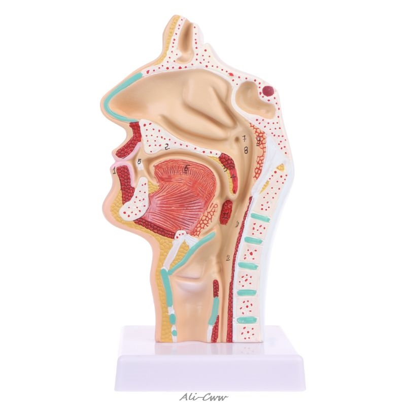 Human Anatomical Nasal Cavity Throat Anatomy Medical Model Teaching Tool Nasal Throat Model