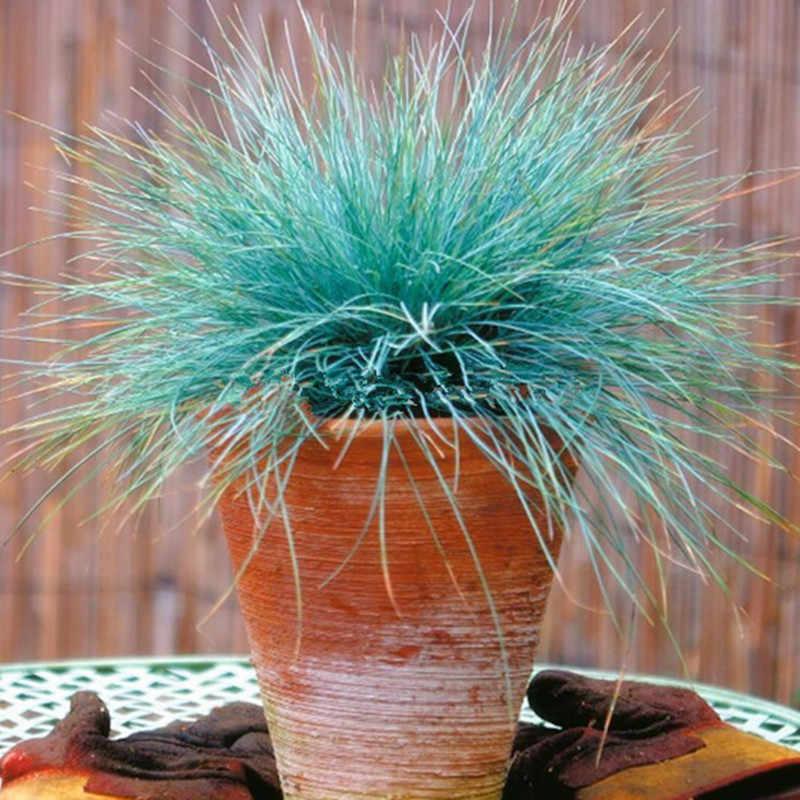 200pcs/bag, Blue Fescue Bonsai - (festuca Glauca) Perennial Cold-tolerant Ornamental Grass Easy To Grow Perennial Potted Plants