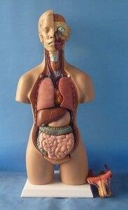Image 2 - 55 cm אדם טורסו דגם התאסף מודל רפואי אדם האנטומיה גוף ביסקסואלים אנטומי דגם עצרת מדע צעצועים חינוכיים