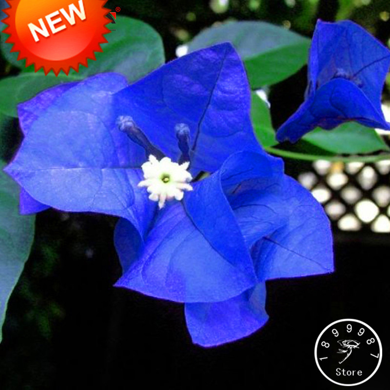Большая Акция! шт./упак. 100 растения уникальный синий бугенвиллеа Spectabilis садовый многолетник карликовые деревья завод цветок Plantas, # S7BYK1