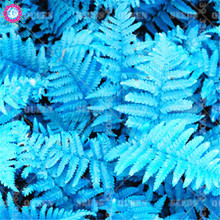 100pcs Rare Blue Maidenhair Fern Seeds Super Bonsai Plants Seeds Organically Grown Heirloom Herb Vegetable For Home Garden