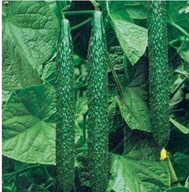 Nuovo 100 pz/borsa Cetriolo Piantare bonsai Verde Cetriolo bonsais Delicious Ver