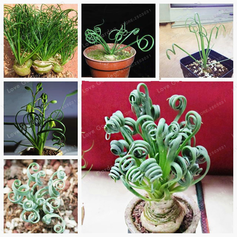 100 Pcs/Bag Albuca Namaquensis Bonsai Sin Mankind Plants Broad Leaf Spring Grass Bonsai Succulents New Plants
