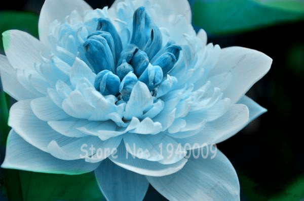 Online Buy Wholesale Blue Lily Flower From China Blue Lily