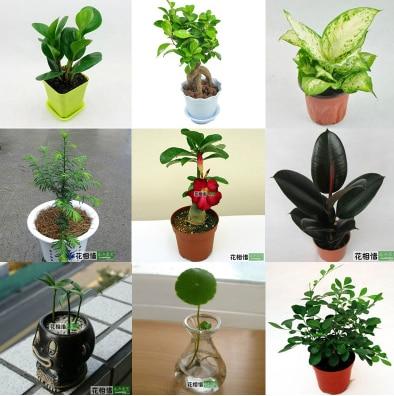 Hogar de interior flores hierba cobre banyan jasper bracketplant dinero planta muchas variedades - Variedades de plantas de interior ...