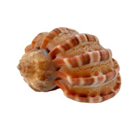 Natural Sea Shell for Home Wedding office Decoration 7cm - 8cm