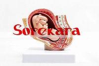 Human Anatomical Fetus Embryo Pregnancy 9 Months Organ Medical Teach Model School Hospital