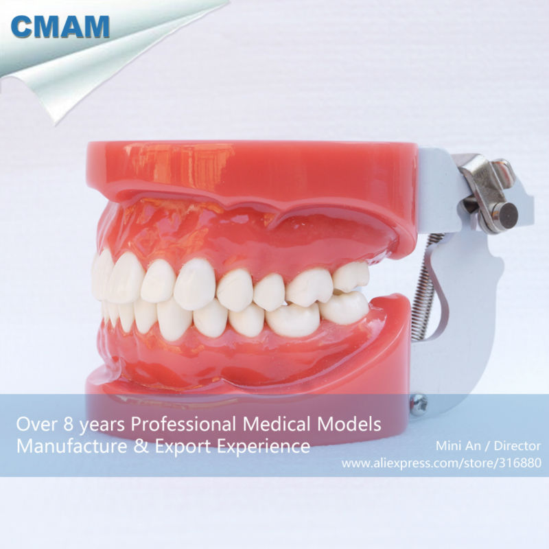 CMAM-DH101 Human Natural Life Size Standard Dental Model , 28Teeth Hard Gum Jaw Wax Fixed plastic standing human skeleton life size for horror hunted house halloween decoration